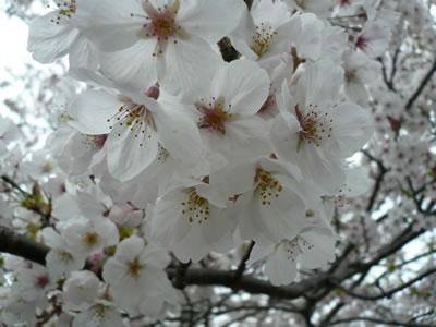 観音池の桜の花.jpg