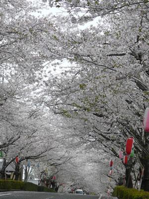 桜並木道.jpg